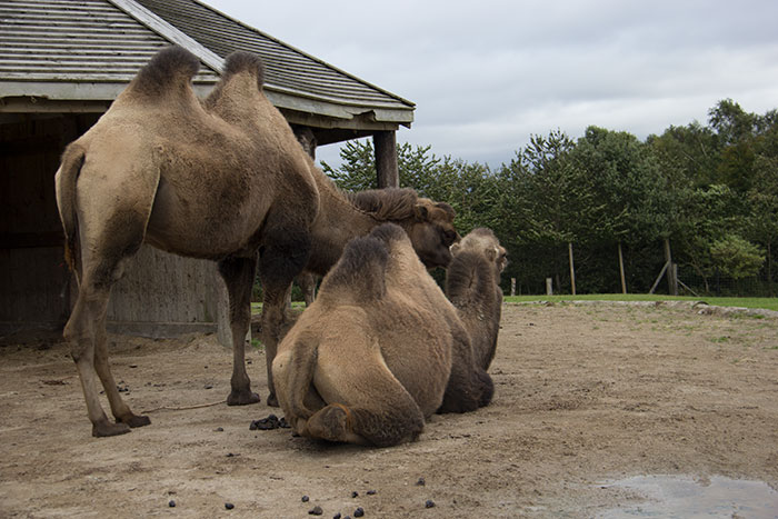 Camels relaxing