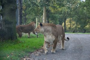 Lions at Knowsley Safari Park - October