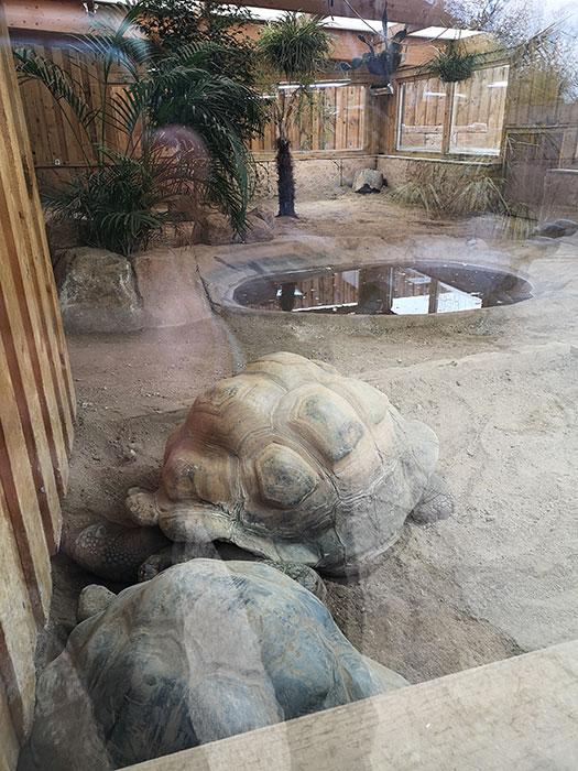 Galapagos turtoise