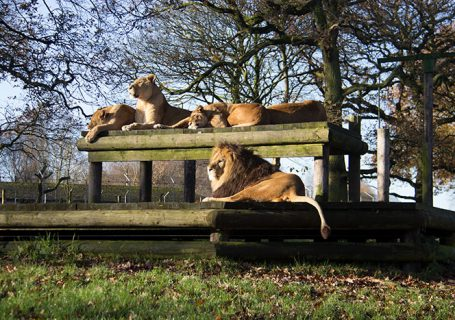 Lions enjoying the sun