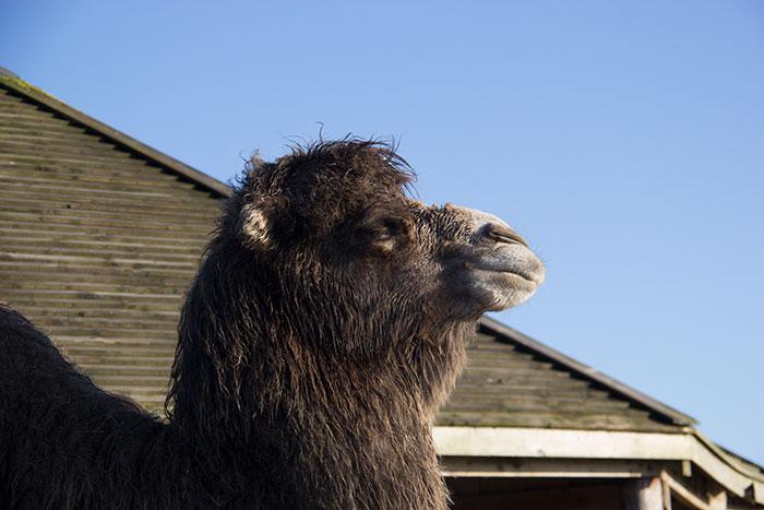 Camel. Close up