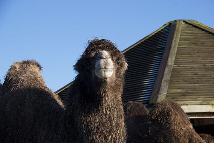 Camel looking at us