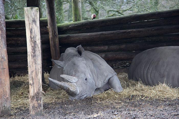 Rhino relaxing