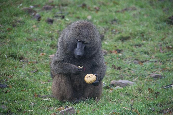 Monkey eating a potato