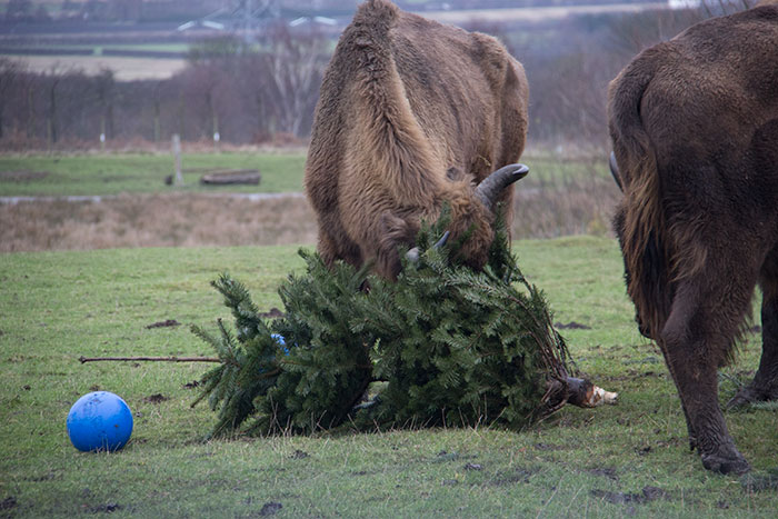 Bison playing with tree