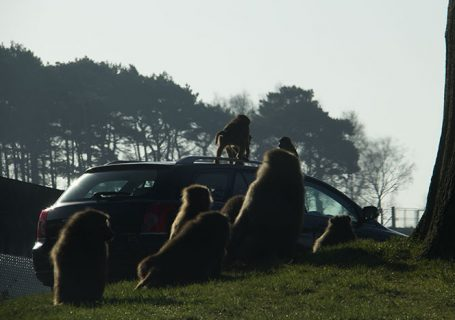Monkeys on other people's car