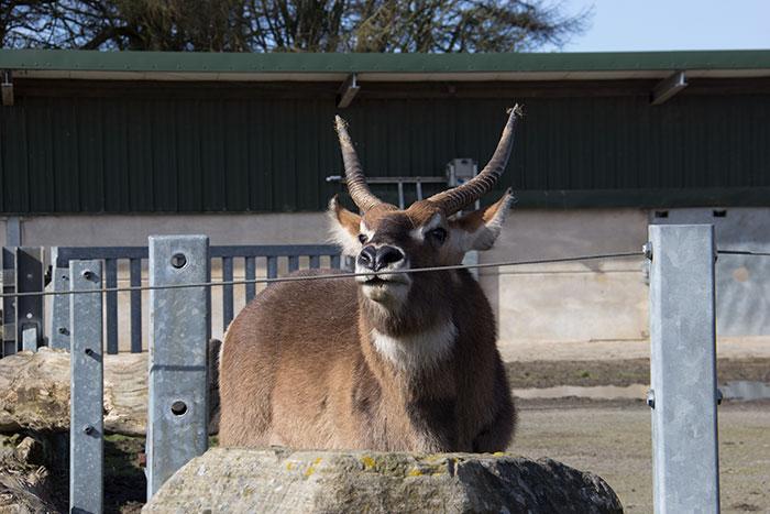 Knowsley Safari Park - Deer
