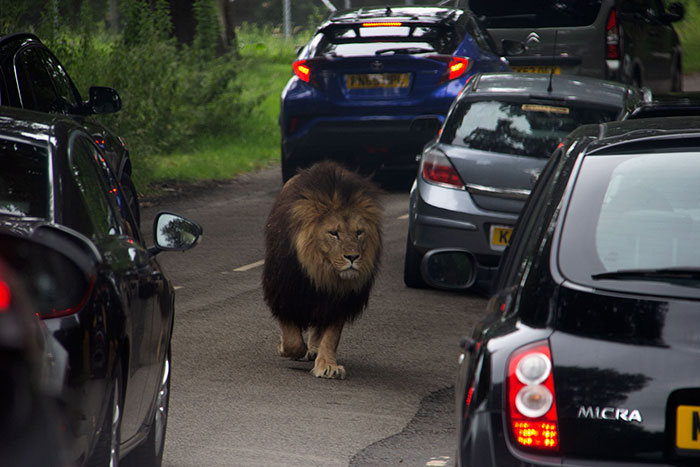 Knowsley Safari Park - Lion among cars
