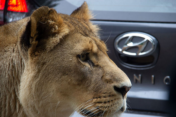 Knowsley Safari Park - Lioness