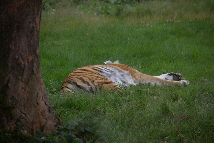 Knowsley Safari Park - Tiger
