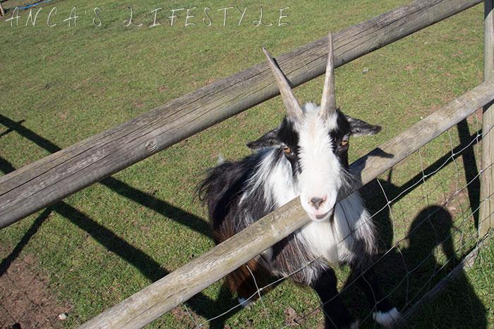 friendly goat urban farm cheshire 2