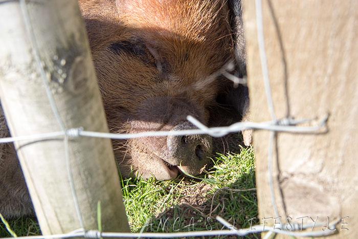 friendly pig urban farm cheshire