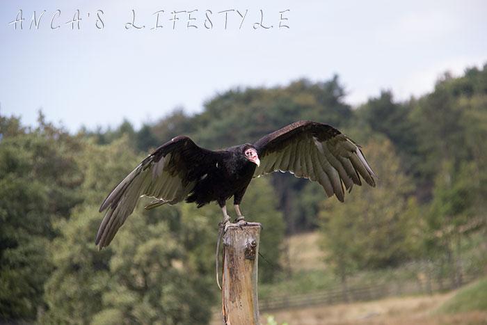 Flight of the talons vulture