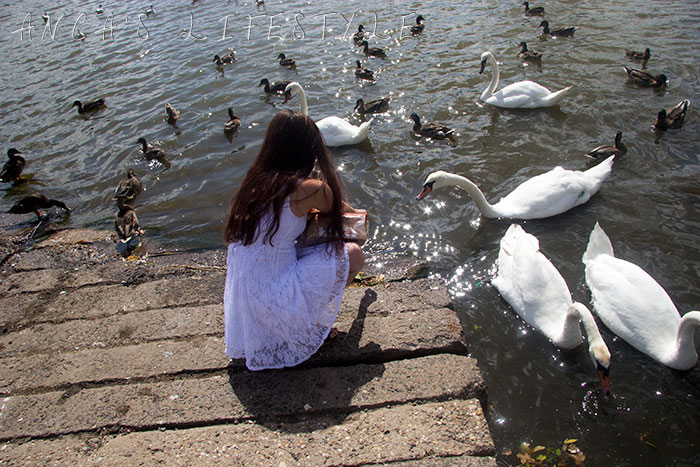 feeding swans nantwich