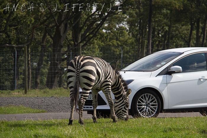 knowsley safari park 11