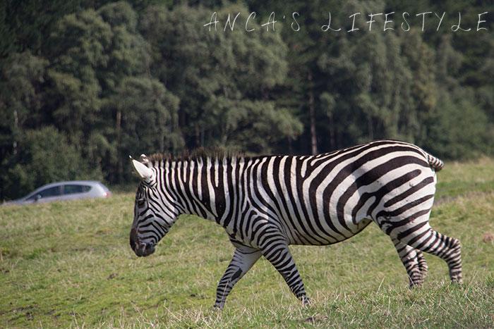 knowsley safari park review 08