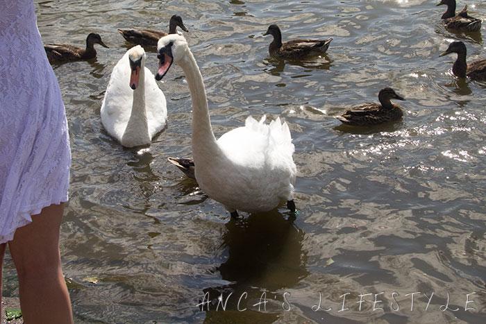 swan nantwich