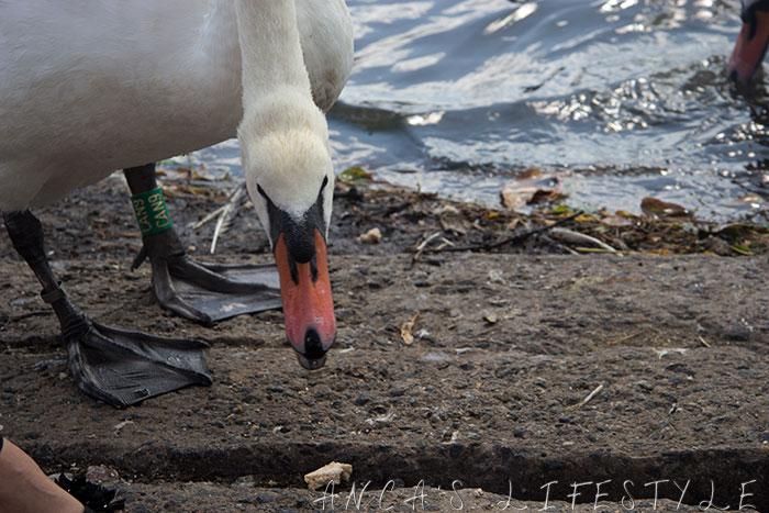 swans nantwich 6