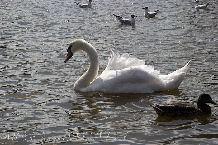 swans nantwich 9