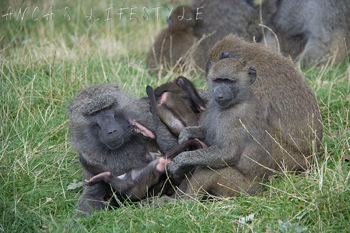 monkeys 11