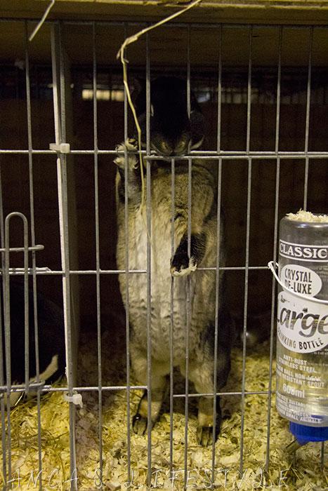 13 guinea pig