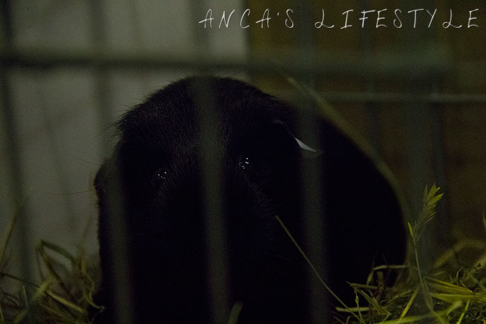 14 guinea pig