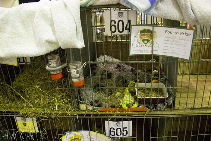 17 guinea pig