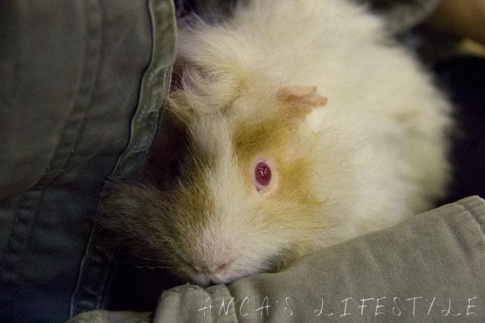 35 guinea pig
