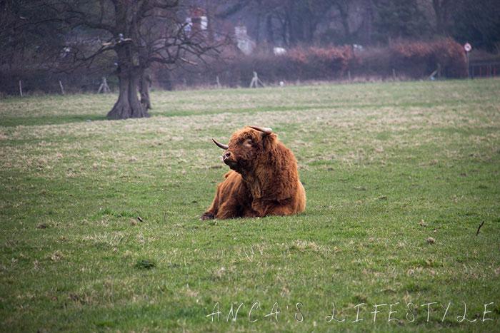 04 Highland cattle