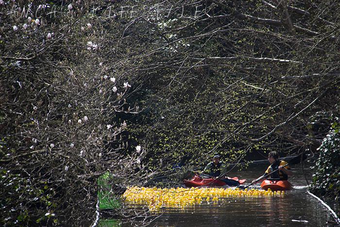 Lymm duck race