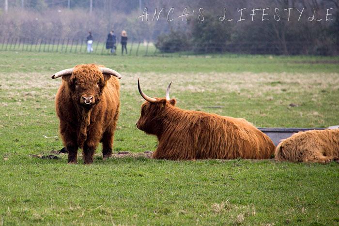 07 Highland cattle