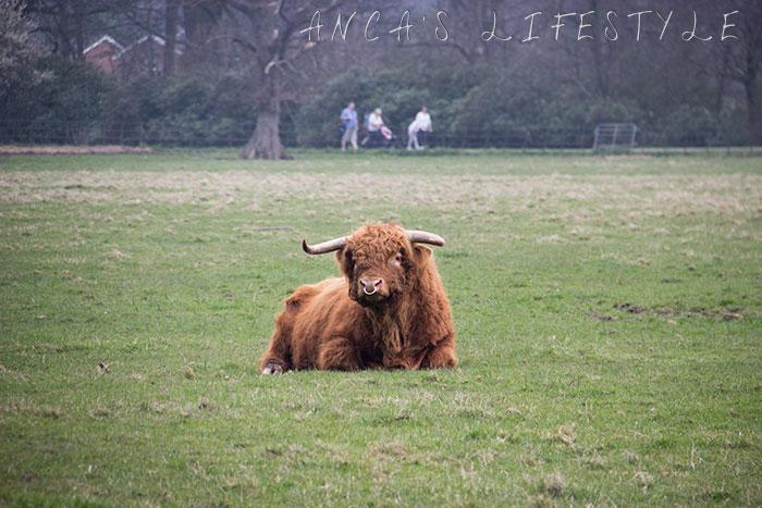 08 Highland cattle