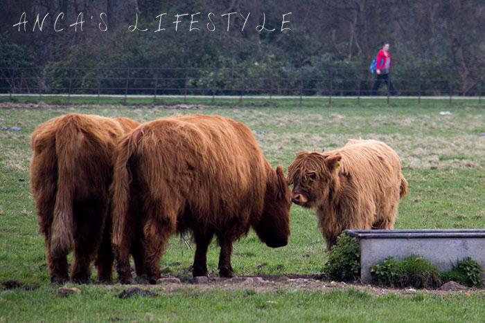11 Highland cattle