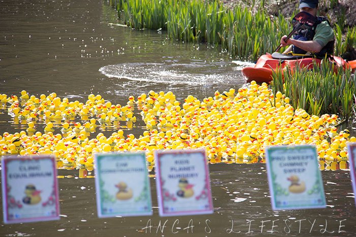Lymm duck race in Cheshire 2015