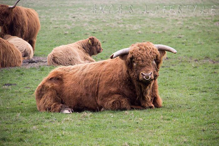 14 Highland cattle