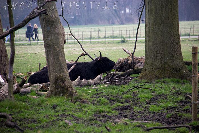 17 Highland cattle