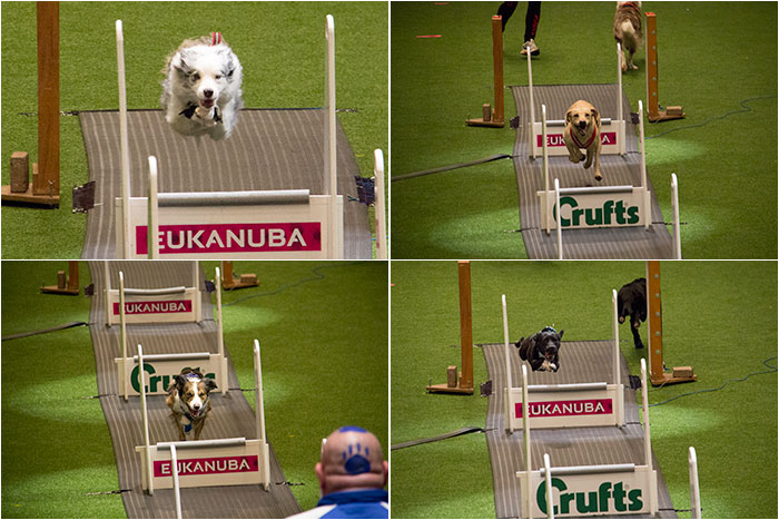 Flyball-Crufts-3