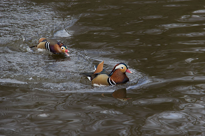 Ducks chashing each other on the water