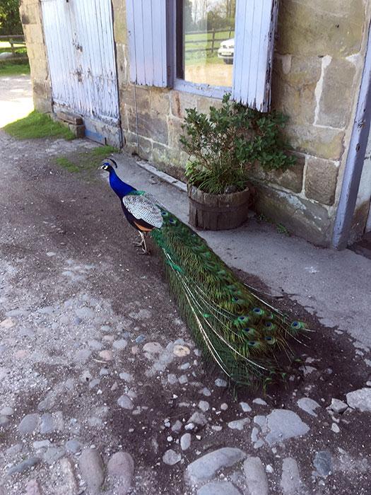 Peacock at Lydiate Hall Farm Shop