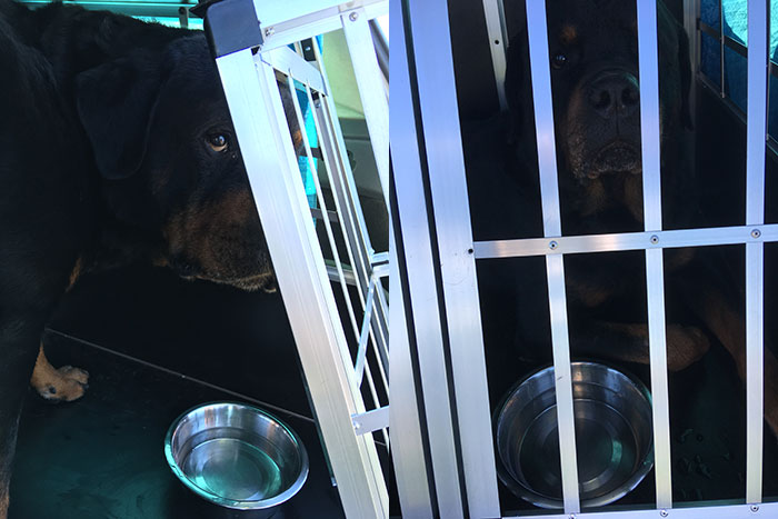 Festus in his cage in the car