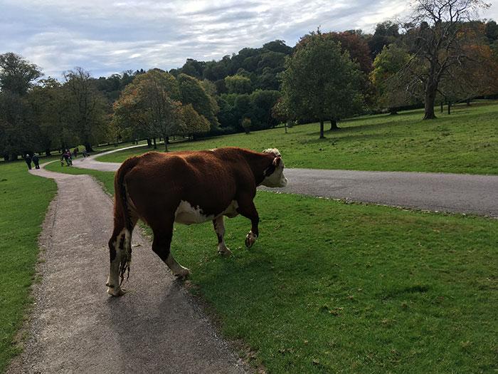 Cow at Lanhydrock