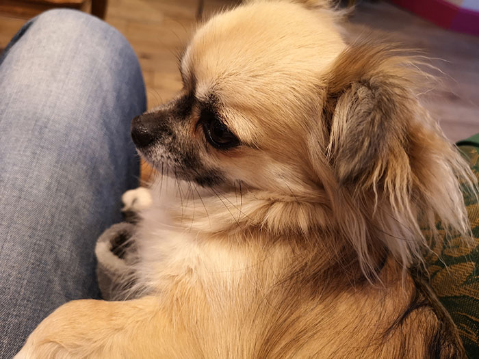 One of the dogs sitting on the lap at Edinburgh Chihuahua Cafe