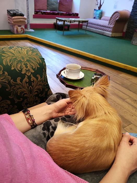 Dog licking my hands at Edinburgh Chihuahua Cafe