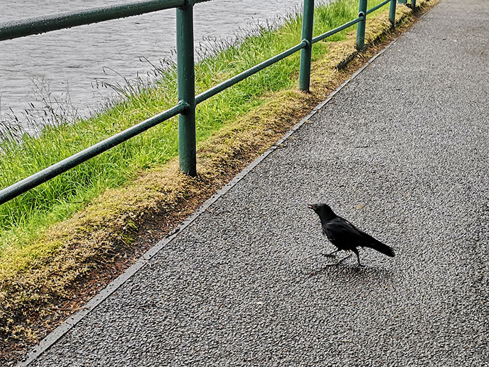 Crow in Inverness