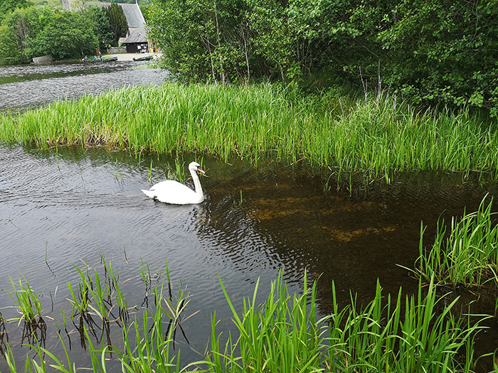 Swan at Inchmahome Priory