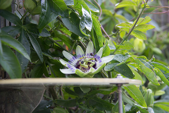 Passiflora update. Flower