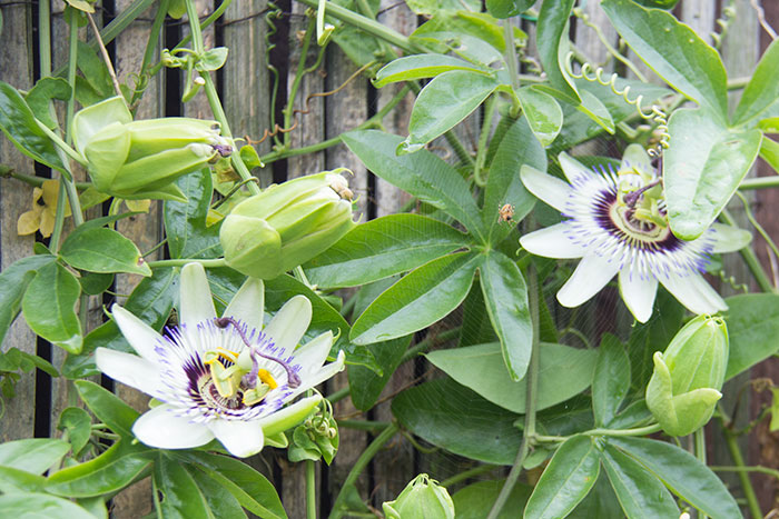 Passiflora update. Flowers in bloom