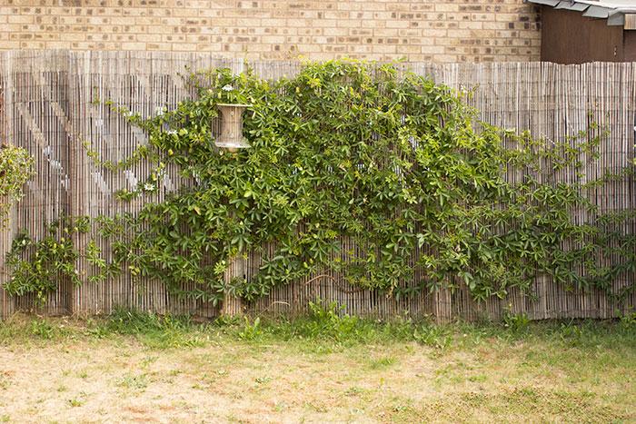 Passiflora, last year