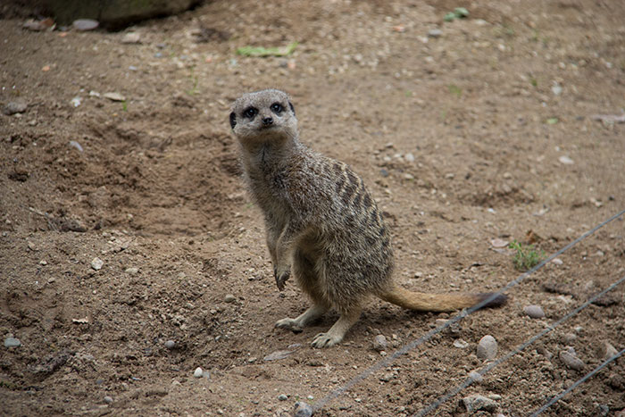 Meerkat at Knowsley Safari Park