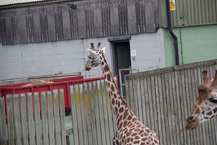 Giraffes watching the keepers